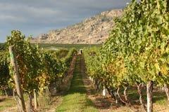葡萄okanagan葡萄园白葡萄酒 库存照片
