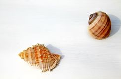 董事会海运壳三白色 免版税库存图片