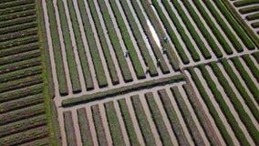 葱农田和农夫顶视图英尺长度  影视素材
