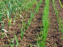 葱和大蒜生长。 免版税库存图片