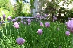 葱在庭院里 免版税库存照片