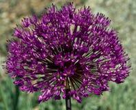 葱属紫色 免版税库存照片