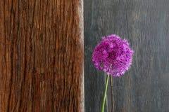 葱属装饰葱紫罗兰色华丽的头状花序漂流木头 免版税库存图片