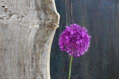 葱属装饰葱紫罗兰色华丽的头状花序老榆木木头 免版税库存照片