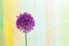 葱属装饰葱紫罗兰色华丽的头状花序 图库摄影