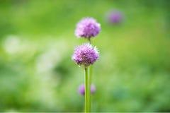 葱属紫色感觉葱属aflatunense莫斯科,俄罗斯头状花序  库存照片
