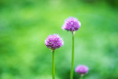 葱属紫色感觉葱属aflatunense莫斯科,俄罗斯头状花序  免版税库存照片