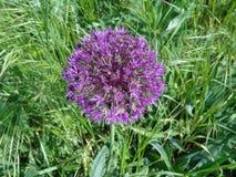 葱属aflatunense `紫色感觉`花 库存照片