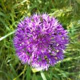 葱属aflatunense `紫色感觉`花 图库摄影