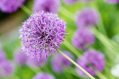 葱属giganteum,紫色花 免版税库存图片
