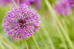 葱属giganteum,紫色花 图库摄影