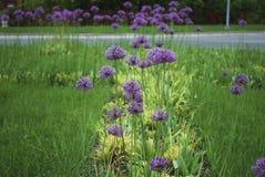 葱属stipitatum '紫罗兰色秀丽'开花 库存图片