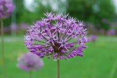 葱属stipitatum '紫罗兰色秀丽'开花 库存照片