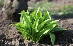 葱属ursinum年轻叶子在春天 熊大蒜有伟大的医治用的能力并且包含许多可贵的物质和 库存照片