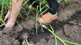 葱年轻射击在地面增长,并且女性手在庭院里种植植物,葱的灌溉 股票录像