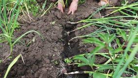 葱年轻射击在地面增长,并且女性手在庭院里种植植物,葱的灌溉 股票视频