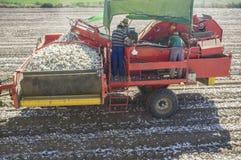 葱收割机在工作 去除腐烂的葱和土块的工作者 免版税库存照片