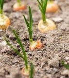 葱树苗在庭院里在春天 库存图片