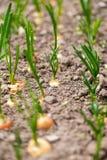 葱树苗在庭院里在春天 免版税库存照片