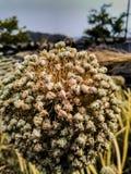 葱植物,花,种子 库存图片
