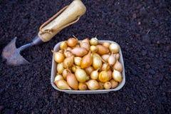葱电灯泡为播种准备在与铁锹,设备材料的土壤 菜背景 免版税库存图片