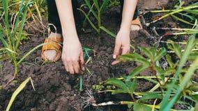 葱的灌溉在庭院里 葱年轻射击在地面增长,并且女性手种植植物 影视素材