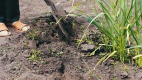 葱的灌溉在庭院里 葱年轻射击在地面增长,并且女性手种植植物 股票录像