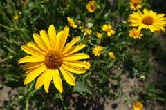葵花helianthoides华丽的黄色花特写镜头  免版税图库摄影
