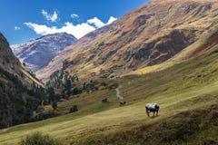 蒂罗尔灰色或Tyrolean灰色高山牛,在牧场地的奶牛 色的小山,大山 秋天在出气孔阿尔卑斯,奥地利 免版税图库摄影