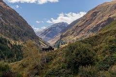 蒂罗尔灰色或Tyrolean灰色高山牛,在牧场地的奶牛 库存照片