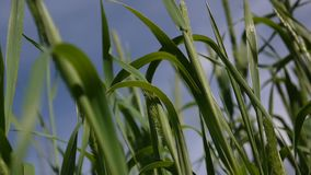 蒂莫西射击的草关闭在草甸在夏天 Phleum 蓝天背景的新鲜的绿色植物在 股票视频