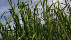 蒂莫西射击的草关闭在草甸在夏天 Phleum 蓝天背景的新鲜的绿色植物在 影视素材