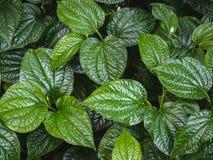 蒋酱之叶离开背景 绿色蒋酱之叶叶子在庭院里 库存图片