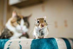 蒙古沙鼠老鼠和猫在背景 牺牲者,食物,虫,相互关系,帮助,危险的概念 库存照片