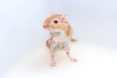 蒙古沙鼠,沙漠之鼠 库存图片