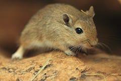 蒙古沙鼠 库存图片