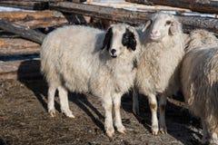 蒙古绵羊在小谷仓 库存图片
