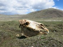 蒙古绵羊-传统生活方式和风景在西部蒙古 免版税库存照片