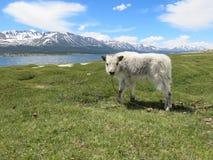 蒙古绵羊-传统生活方式和风景在西部蒙古 图库摄影