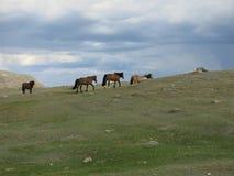 蒙古绵羊-传统生活方式和风景在西部蒙古 库存图片