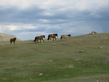 蒙古绵羊-传统生活方式和风景在西部蒙古 库存照片