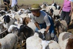 蒙古语在切开毛毡的羊毛前重估绵羊,大约Harhorin,蒙古 库存图片