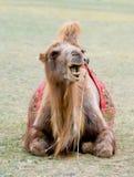 蒙古骆驼 库存图片