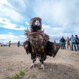 蒙古-2015年5月17日:寻找的特别地训练的老鹰在Ulaan-Baator附近的蒙古沙漠 库存图片