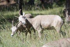 蒙大拿大角野绵羊 免版税库存照片