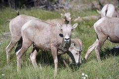 蒙大拿大角野绵羊 库存图片