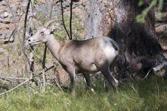 蒙大拿大角野绵羊 图库摄影