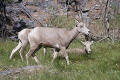 蒙大拿大角野绵羊 免版税库存图片