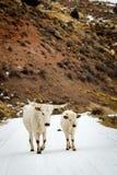 蒙大拿牛 免版税库存图片