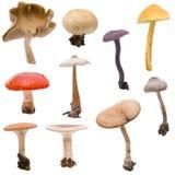 蒙太奇蘑菇伞菌 库存图片